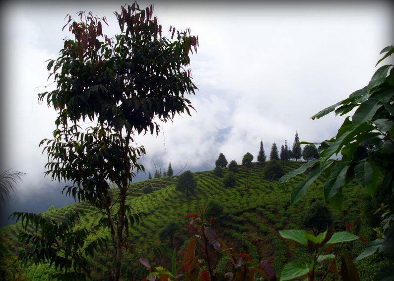 Чайная плантация гора Буланг